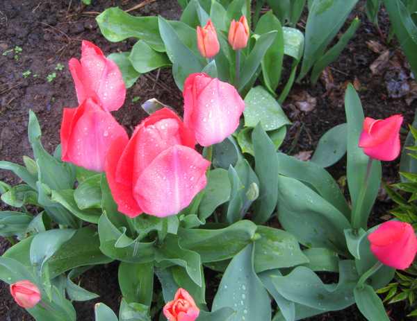 2013-4, April showers, tulips